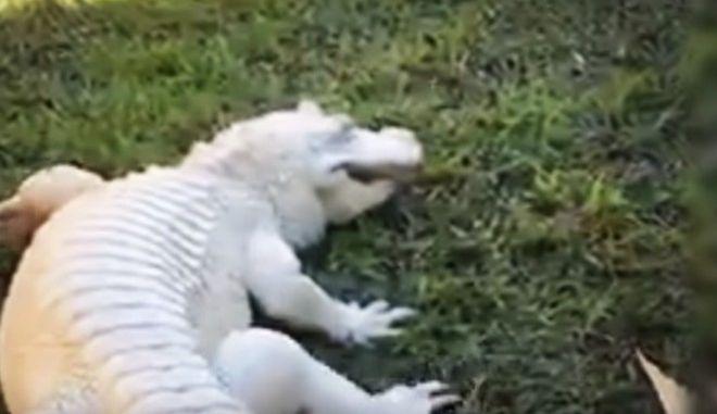 Σπάνιος λευκός κροκόδειλος εντοπίστηκε στην Αυστραλία