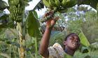 """Εργασιακή """"ζούγκλα"""" βιώνουν οι γυναίκες στο εμπόριο μπανάνας"""