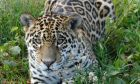 Αττικό Πάρκο: Νεκρά δύο τζάγκουαρ για λόγους ασφαλείας