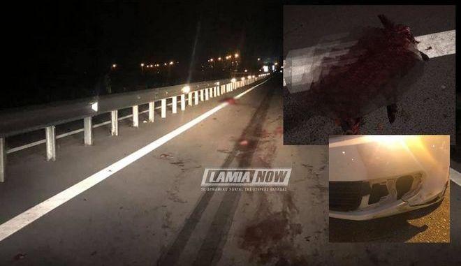 Φθιώτιδα: Οδηγός συγκρούστηκε με κοπάδι αγριογούρουνων
