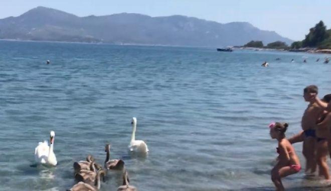 Φθιώτιδα: Κύκνοι απολαμβάνουν το μπάνιο τους σε παραλία με κόσμο
