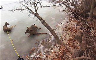 Βίντεο: Έσωσαν ελάφια από παγωμένη λίμνη με χόβερκραφτ
