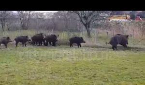 Βίντεο: Αγριογούρουνα 'κόβουν βόλτες' μέσα στο Διδυμότειχο