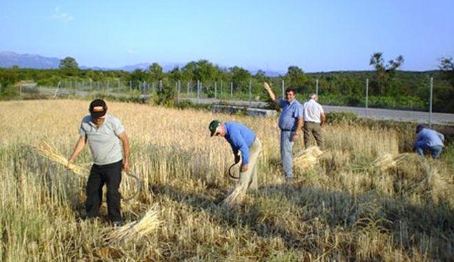 Ζέα: Η επιστροφή του αρχαίου σιταριού