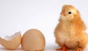 Η κότα έκανε το αυγό ή το αυγό την κότα; Βρήκαμε την απάντηση