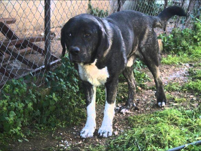 Ελληνικά τσοπανόσκυλα: Οι πιστοί σύντροφοι των κτηνοτρόφων