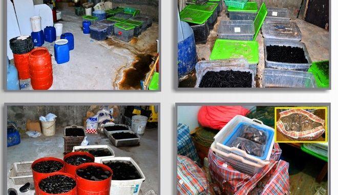 Κινέζοι έστησαν παράνομη μονάδα αλιείας και εξαγωγής 'θαλασσινών αγγουριών'