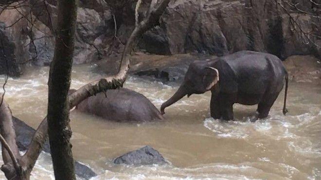 Εικόνα ενός εκ των επιζώντων ελεφάντων που προσπαθεί να σώσει το ταίρι του