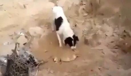 Συγκινητικό βίντεο: Σκύλος θάβει νεκρό κουτάβι...