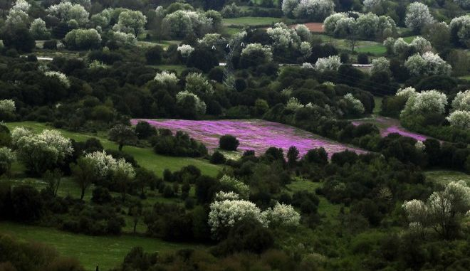 Ενα χωράφι απο λουλούδια στην μέση συστάδας δέντρων σε στιγμιότυπο απο τον νομό των Ιωαννίνων (EUROKINISSI / ΧΑΣΙΑΛΗΣ ΒΑΪΟΣ)