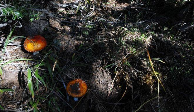 Μανιτάρι σε δάσος στην περιοχή της λίμνης Πλαστήρα. (EUROKINISSI/ΘΑΝΑΣΗΣ ΚΑΛΛΙΑΡΑΣ)