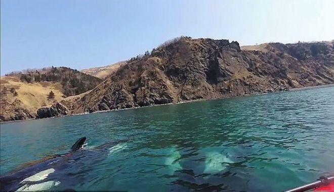 """Βίντεο που """"κόβει"""" την ανάσα: Φάλαινες - δολοφόνοι περικυκλώνουν κωπηλάτες"""