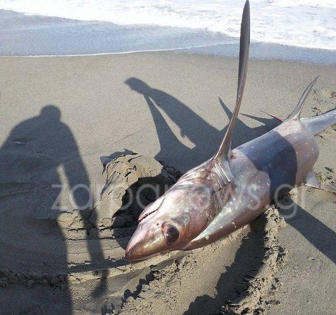 Καρχαρίας τριών μέτρων 'βγήκε' στην παραλία του Πλατανιά
