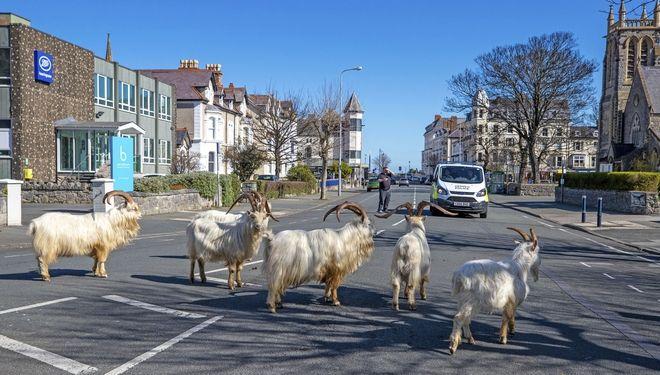 Κοπάδι απο κατσίκες απολαμβανει τη βόλτα του στους δρόμους του Λαντούντνο της βόρειας Ουαλίας.