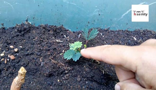 Το παράδοξο φυτό που δεν θέλει να το αγγίζουν - Θυμάται χωρίς εγκέφαλο