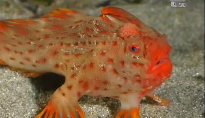 Κόκκινο Χερόψαρο: Το σπανιότερο είδος ψαριού 'επέστρεψε' στις ακτές της Τασμανίας