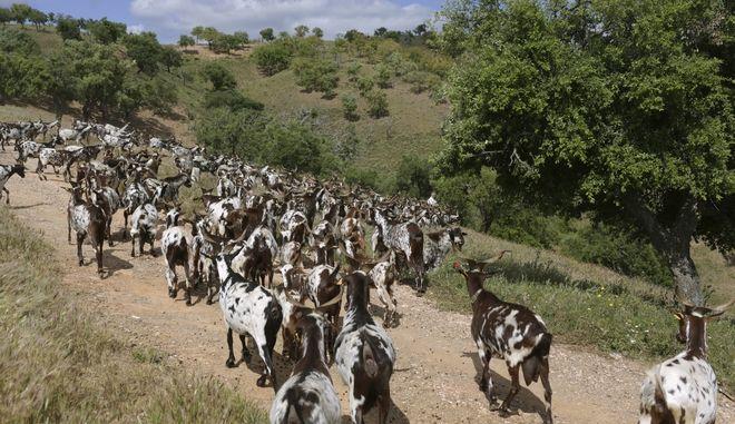 Κατσίκες στην Πορτογαλία (φωτογραφία αρχείου)