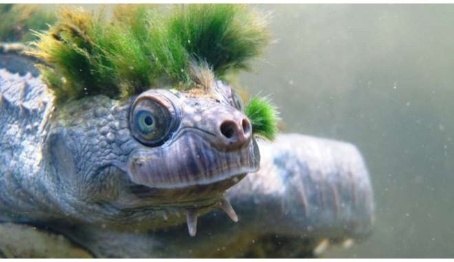 Η χελώνα με τα πράσινα μαλλιά από την Αυστραλία