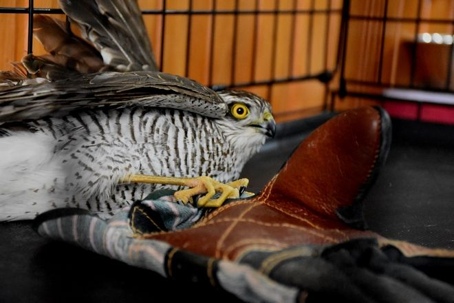 Γεράκι ανήμπορο να πετάξει, βρέθηκε πεσμένο σε αυλή σπιτιού  στο Άργος .