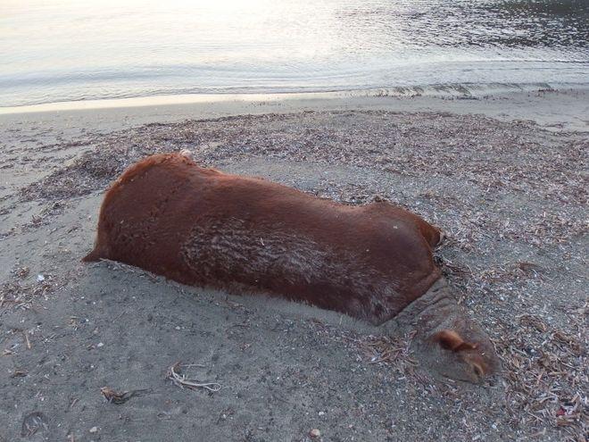 Η θάλασσα ξέβρασε αγελάδες και ταύρους σε παραλίες των Κυκλάδων