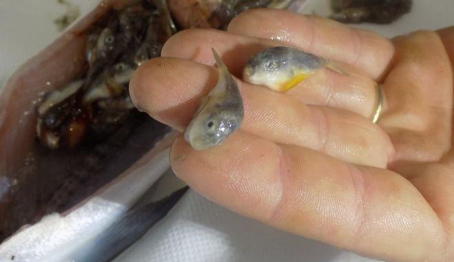 Καθάριζε ψάρι και βρήκε μέσα του δεκάδες λαγοκέφαλους