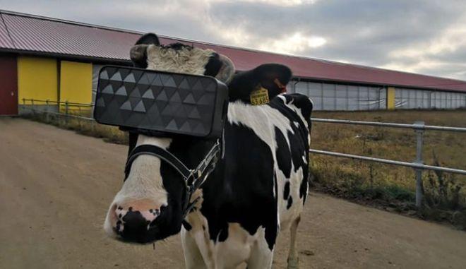 Φόρεσαν γυαλιά VR σε αγελάδες για να τους μειώσουν το άγχος