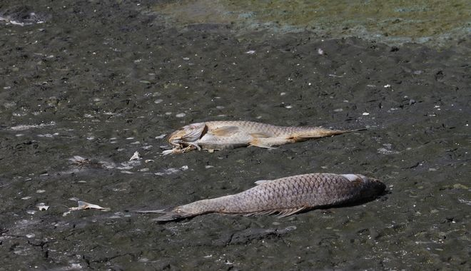 Ξεβράστηκαν χιλιάδες νεκρά ψάρια.