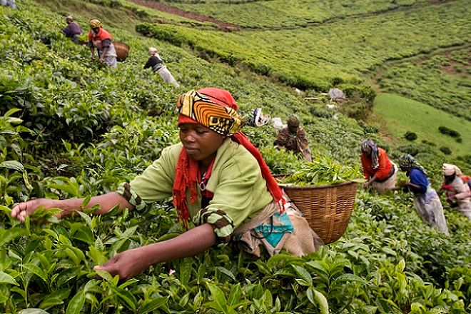 Plucking tea on a hillside on the Kitabe tea estate where the steep slopes, acidic soils and high altitude make them unsuitable for growing food crops, but ideal for the cultivation of tea.Tea production in Rwanda. Picture by Tim Smith.