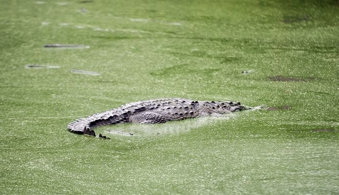 Κροκόδειλος (ΦΩΤΟ Αρχείου)