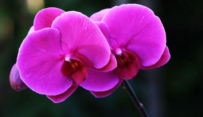 Ορχιδέα, λουλούδι