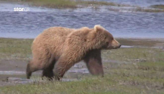 Καστοριά: Αρκούδα κυνήγησε κτηνοτρόφο, τον έσωσαν τα σκυλιά του