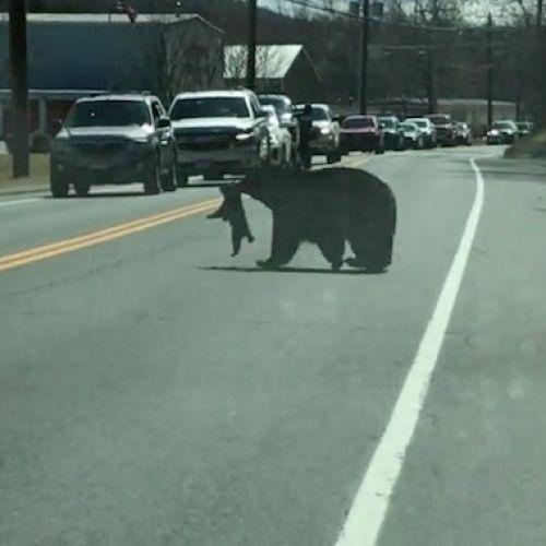 Επίμονη μαμά-αρκούδα προσπαθεί να διασχίσει δρόμο, με τα 4 μικρά της να αρνούνται