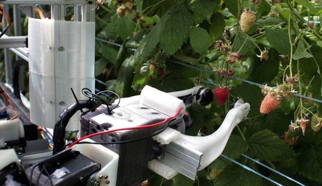Ρομπότ μαζεύει 25.000 σμέουρα τη μέρα