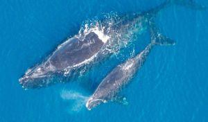 Μοναδικές εικόνες: Φάλαινα φυσητήρας θηλάζει το μικρό της στο Αιγαίο πέλαγος!