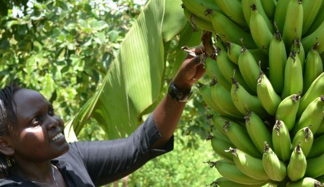 Καμερούν: Στον… αέρα δέκα χιλιάδες εργάτες στις φυτείες μπανάνας