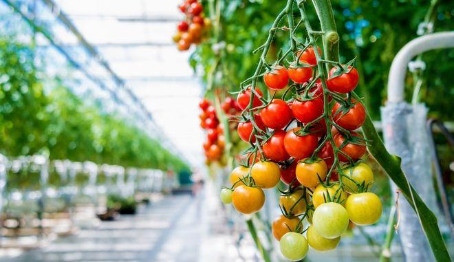 Καλλιέργεια ντομάτας - φωτογραφία αρχείου