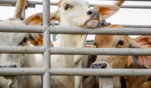 ΣτΕ: Τέλος στη σφαγή ζώων χωρίς αναισθητοποίηση και στις θρησκευτικές τελετές