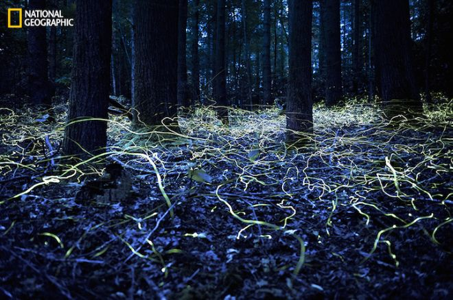 Blue Ghost Fireflies in Brevard, North Carolina. Blue Ghost fireflies are unique because they stay lit and only hover about a foot off the ground.  National Geographic Photo Contest 2014PERMITTED USE: This image may be downloaded or is otherwise provided at no charge for one-time use for coverage or promotion of the National Geographic 2014 Photo Contest and exclusively in conjunction thereof.  No copying, distribution or archiving permitted.  Sublicensing, sale or resale is prohibited.REQUIRED CREDIT AND CAPTION: All image uses must be properly credited to the relevant photographer, as shown in this metadata, and must be accompanied by a caption, which makes reference to the National Geographic 2014 Photo Contest.  Any uses in which the image appears without proper photographer credit and a caption referencing National Geographic Your Shot are subject to paid licensing.About the contest: http://photography.nationalgeographic.com/photography/photo-contest/2014/Mandatory usage requirements - please use up to a maximum of ten (10) photos from the selection below:1.  Must include a prominent mention of the
