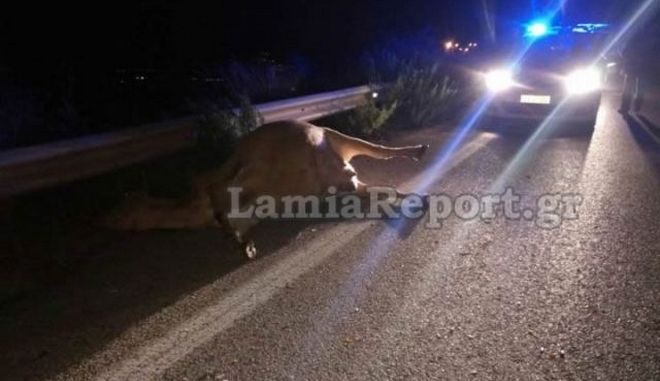 Αυτοκίνητο τράκαρε με αδέσποτη αγελάδα στη Λαμία