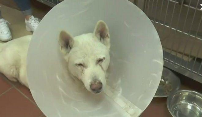 O Έκτορας, το σκυλί που έπεσε θύμα άγριας κακοποίησης