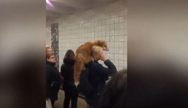 Μπήκε με την αλεπού της στο μετρό σαν να μην συμβαίνει τίποτα
