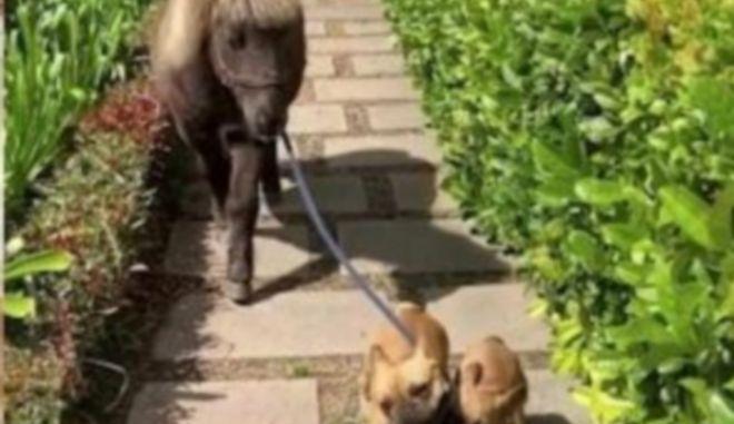 Σκυλάκια βγάζουν βόλτα με λουρί το άλογο της οικογένειας