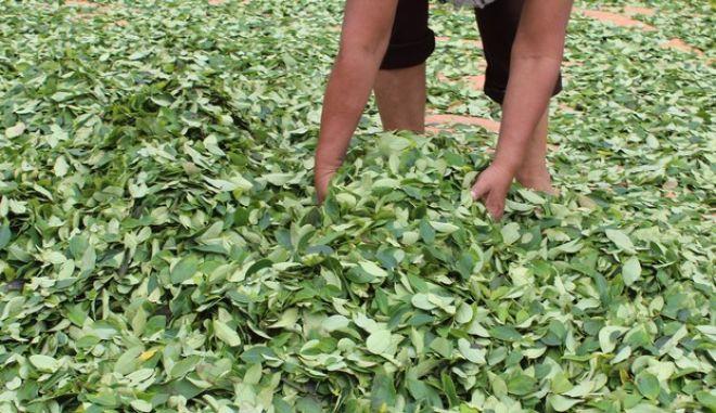 Βολιβία: Το Κογκρέσο ενέκρινε νομοσχέδιο για τον διπλασιασμό της καλλιέργειας κόκας