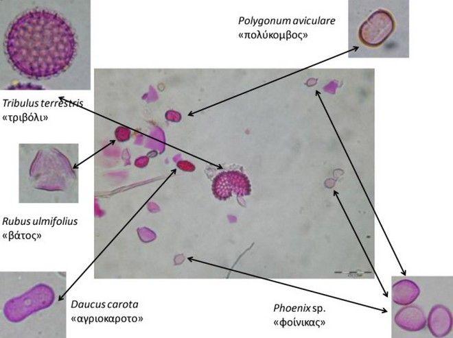 Ταυτοποίηση γυρεόκοκκων στο μικροσκόπιο.