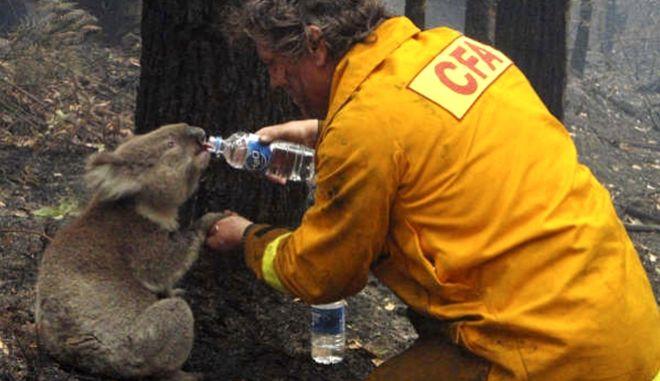 Ένας πυροσβέστης δίνει νερό σε ένα κοάλα που υποφέρει εξαιτίας των καταστροφικών πυρκαγιών στην Αυστραλία