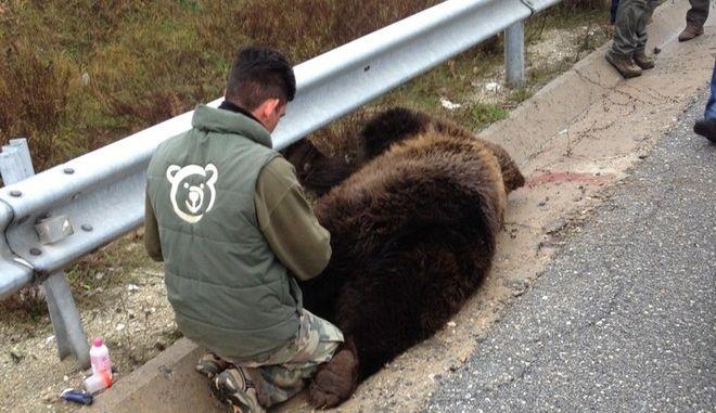 Αρκούδα παρασύρθηκε από διερχόμενο όχημα έξω από την Κοζάνη