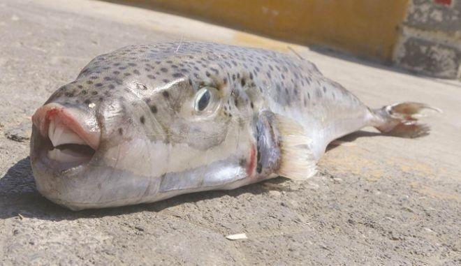Κρήτη: Ψάρι καταβροχθίζει μέταλλο - Σε απόγνωση οι ψαράδες