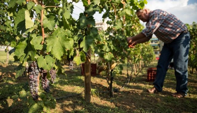 Grape harvest in the urban vineyard of Thessaloniki with the participation of citizens, Thessaloniki on September 9, 2014. The vineyard was established in April 2013 in conjunction with Ktima Gerovassiliou winery and viticulture laboratory of AUTH in place of the old workshop of the municipality. The vineyard grows in an area of two acres with four varieties, two white (Malagouzia, Robola) and two red (Xynomavro, Aghiorghitiko). The wine will be held by the Ktima Gerovassiliou winery, while the name of the wine resulting from open online vote. /          ,   9  2014.       2013            ..       .           ,   (, )    (, )      .        ,           .