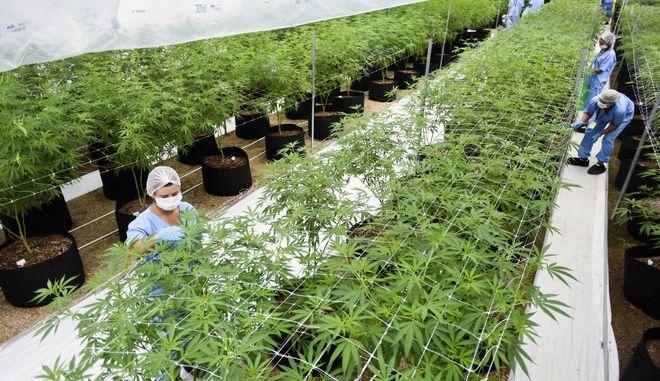 Μονάδα καλλιέργειας κάνναβης στην Ουρουγουάη
