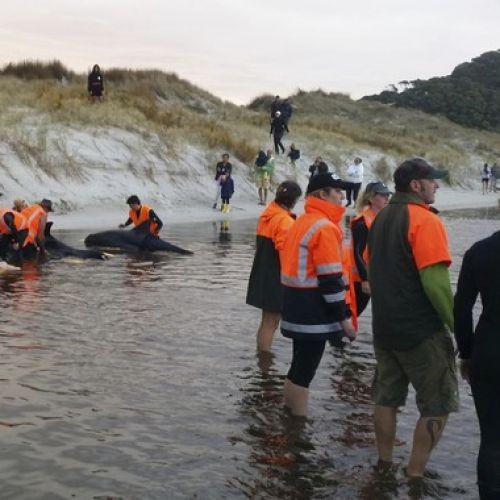 Εθελοντές προσπαθούν να βοηθήσουν φάλαινες στη Νέα Ζηλανδία